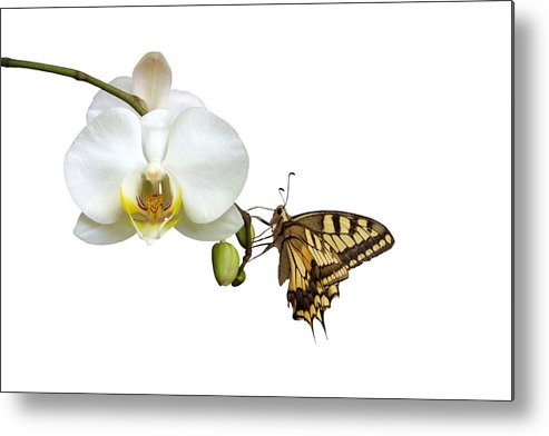 White Background Metal Print featuring the photograph Swallowtail On White Orchid by Photographerolympus