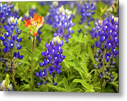 Orange Color Metal Print featuring the photograph Texas Bluebonnets In Spring Meadow by Fstop123