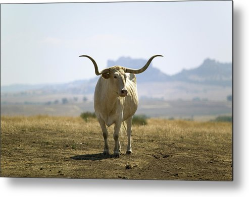 Horned Metal Print featuring the photograph Texas Longhorn by Joseph Sohm-visions Of America