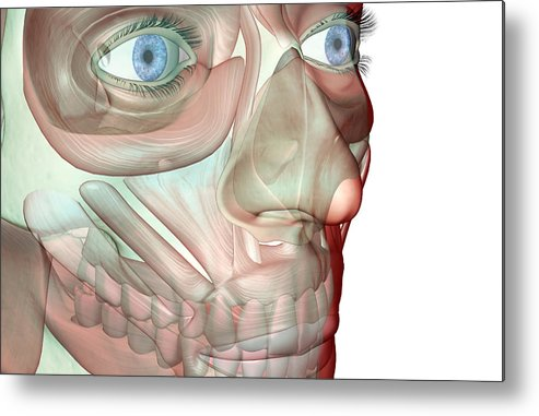 White Background Metal Print featuring the digital art The Musculoskeleton Of The Face by Medicalrf.com