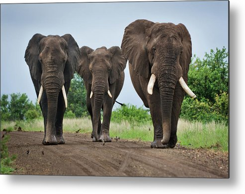 Toughness Metal Print featuring the photograph Three Big Elephants On A Dirt Road by Johansjolander