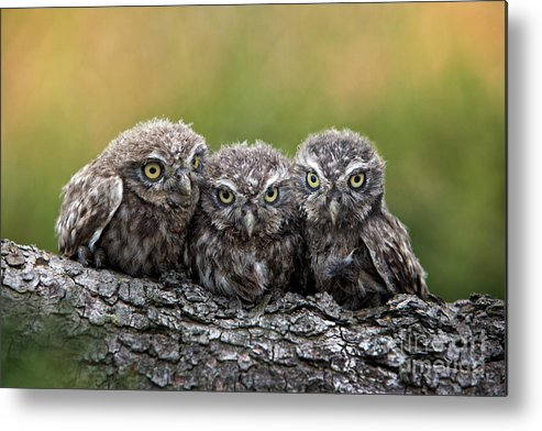 Bird Of Prey Metal Print featuring the photograph Three Grimly Goblins by Michael Milfeit
