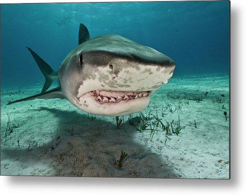 Underwater Metal Print featuring the photograph Tiger Sharks Galeocerdo Cuvier Are by Rodrigo Friscione