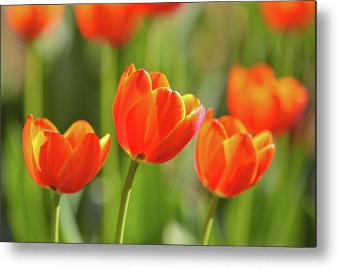 Flowerbed Metal Print featuring the photograph Tulip by Ithinksky