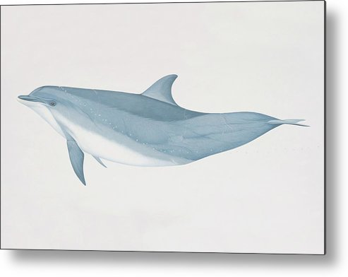 White Background Metal Print featuring the digital art Tursiops Truncatus, Bottlenose Dolphin by Martin Camm