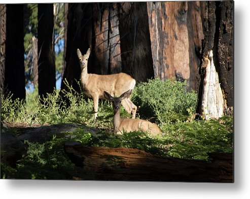 Deer Metal Print featuring the photograph Two Deer by Carly Creley