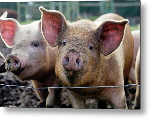 Pig Metal Print featuring the photograph Two Pigs On Farm by Charity Burggraaf