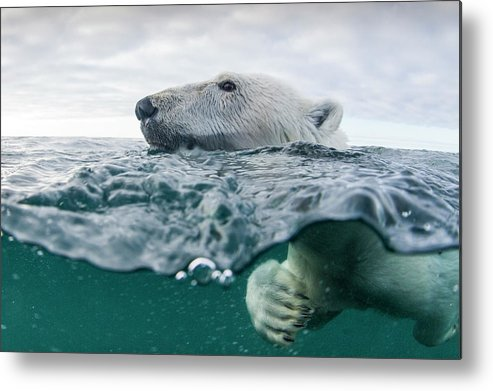 Paw Metal Print featuring the photograph Underwater Polar Bear In Hudson Bay by Paul Souders
