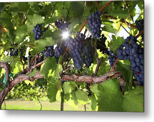 Scenics Metal Print featuring the photograph Vineyard Wine Grapes by Georgepeters