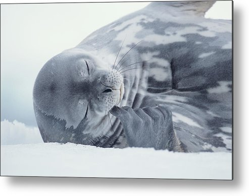One Animal Metal Print featuring the photograph Weddell Seal Leptonychotes Weddellii by Eastcott Momatiuk