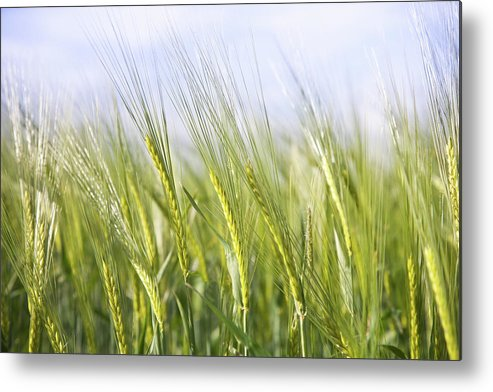 Scenics Metal Print featuring the photograph Wheat Field by Peter Chadwick Lrps