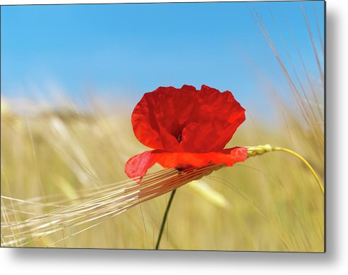 Petal Metal Print featuring the photograph Wheat Stalks And Poppy With Blue Summer by G.g.bruno