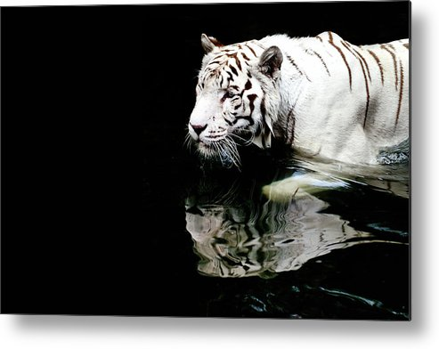 Three Quarter Length Metal Print featuring the photograph White Tiger In Water by Carlina Teteris