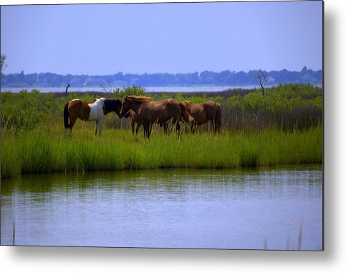 Horse Metal Print featuring the photograph Wild Horses Of Assateague Island by Robin Houde Photography