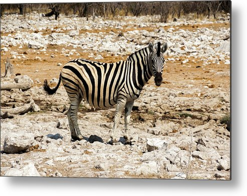 Animal Themes Metal Print featuring the photograph Zebra And White Rocks by Taken By Chrbhm