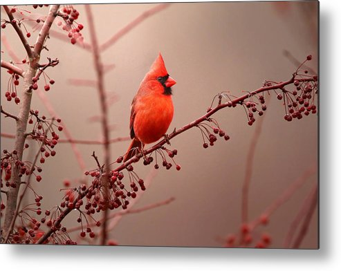 Cardinal Metal Print featuring the photograph Bold Beauty by Rob Blair