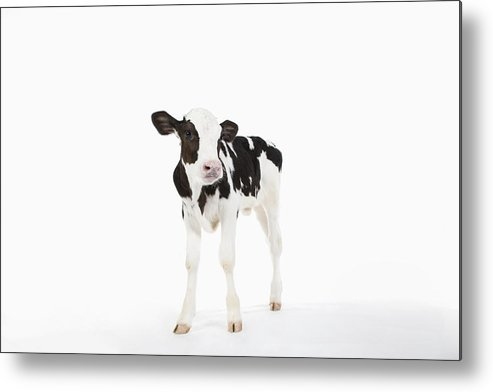 White Background Metal Print featuring the photograph Calf by Ichiro