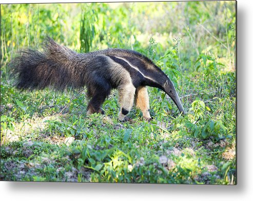 Animals In The Wild Metal Print featuring the photograph Giant Anteater Wetland Brazil by Fandrade