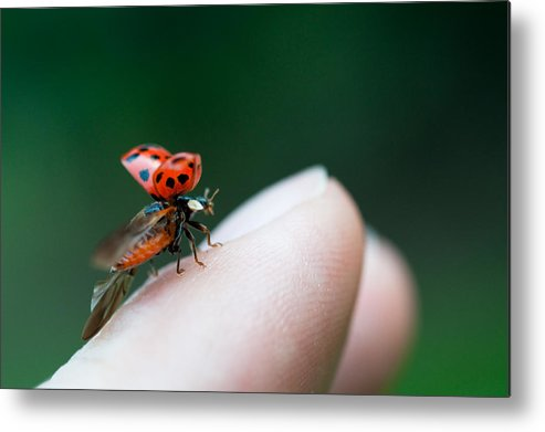 Taking Off Metal Print featuring the photograph Ladybug Just Before Flying Away From Fingertip by Assalve
