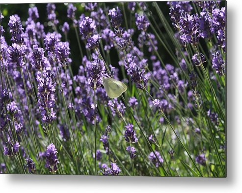 Lavender Metal Print featuring the photograph Lavender by Vicki Cridland