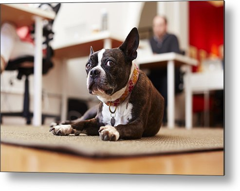 Pets Metal Print featuring the photograph Portrait of curious dog lying on rug in an office by Seth K. Hughes