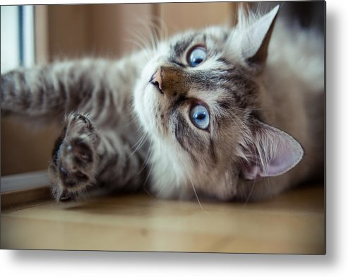 Pets Metal Print featuring the photograph Ragdoll Cat Casper by Alex Barlow
