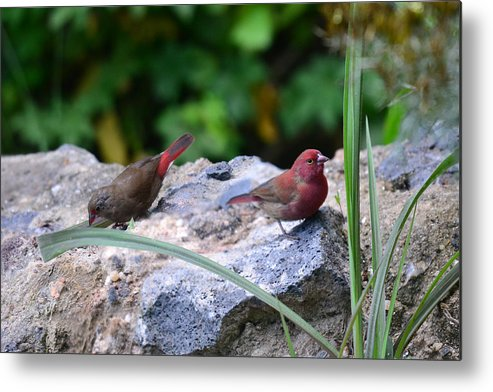 Animal Themes Metal Print featuring the photograph Red-billed Firefinch (Lagonosticta senegala) couple by Michele D'Amico supersky77