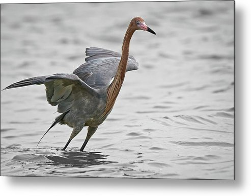 Birds Metal Print featuring the photograph Reddish Egret No2 by Steve DaPonte
