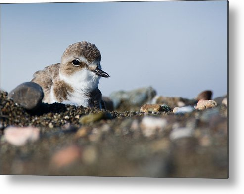 Plover Metal Print featuring the photograph Western Snowy Plover by Michael Mike L. Baird flickr.bairdphotos.com