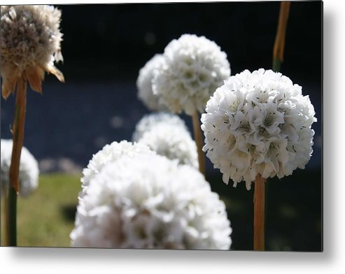 Aliums Metal Print featuring the photograph White Aliums by Vicki Cridland
