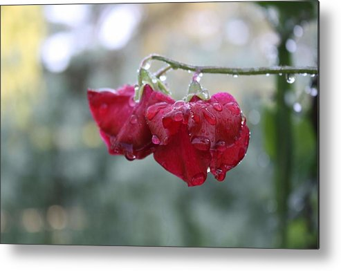 Wine Red Metal Print featuring the photograph Wine Red Sweet Pea by Vicki Cridland