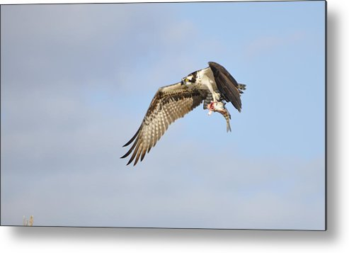 Osprey Metal Print featuring the photograph Osprey Lunch To Go I by Christine Stonebridge