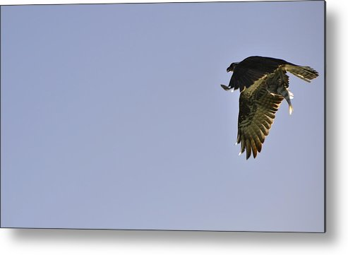 Osprey Metal Print featuring the photograph Osprey Lunch To Go III by Christine Stonebridge