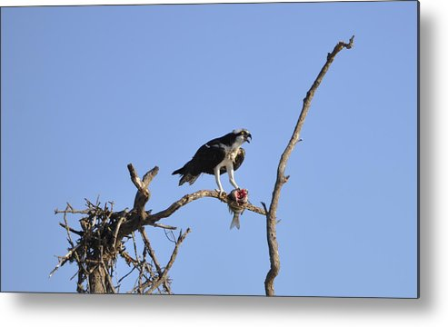 Osprey Metal Print featuring the photograph Osprey with Catch I by Christine Stonebridge