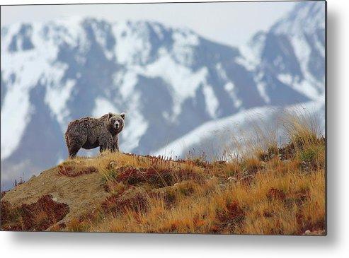 Brown Bear Metal Print featuring the photograph Brown Bear by Zahoor Salmi