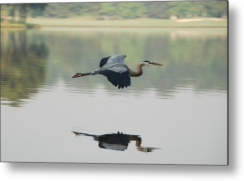 Animal Themes Metal Print featuring the photograph Great Blue Heron In Flight by Photo By Hannu & Hannele, Kingwood, Tx