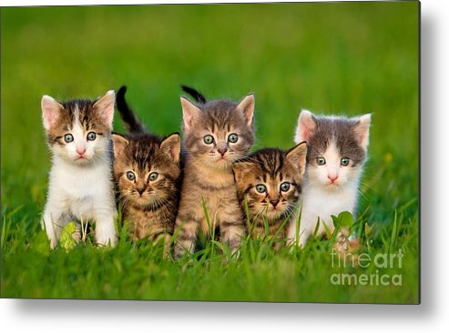 Small Metal Print featuring the photograph Group Of Five Little Kittens Sitting by Grigorita Ko