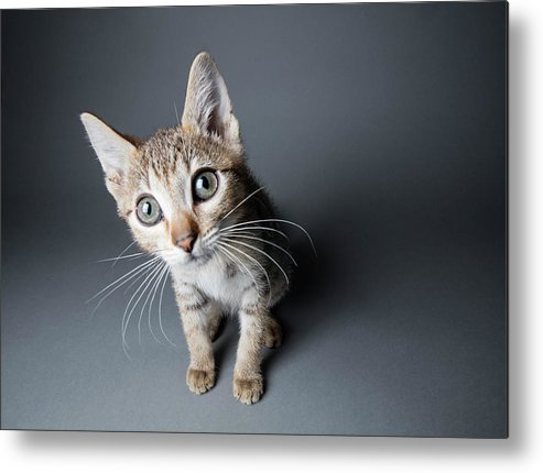 Pets Metal Print featuring the photograph Big-eyed Tabby Kitten - The Amanda by Amandafoundation.org