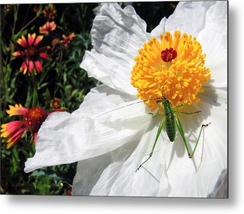 Dandy Metal Print featuring the photograph Dandy by Skip Hunt