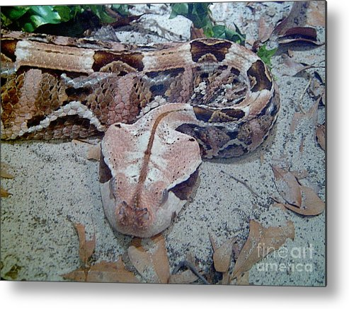 Snakes Metal Print featuring the photograph Hissssss by Heather Morris