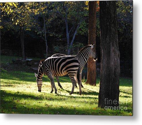 Zebra Metal Print featuring the photograph Common Zebras by DiDi Higginbotham