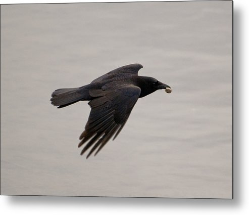 Photography Metal Print featuring the photograph American Crow by Joel Brady-Power