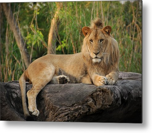 Lion Metal Print featuring the photograph Classic Young Male by Steven Sparks