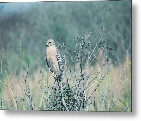 Animal Metal Print featuring the photograph Red Shouldered Hawk by Cindy Gregg