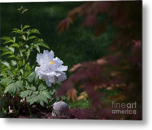 White Metal Print featuring the photograph White Peony by David Bearden
