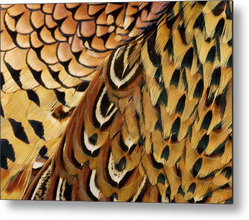 Orange Color Metal Print featuring the photograph Detail Of Pheasant Feathers by Jeffrey Coolidge