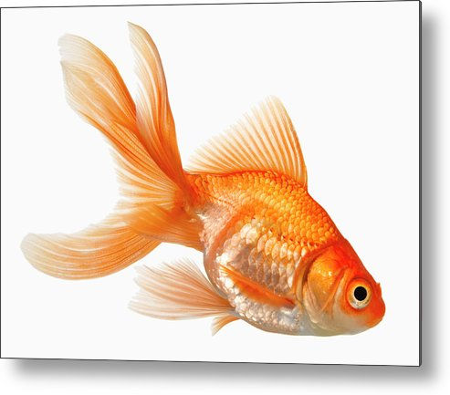 Orange Color Metal Print featuring the photograph Fancy Goldfish by Don Farrall