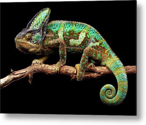 Animal Themes Metal Print featuring the photograph Nice And Slow by Markbridger