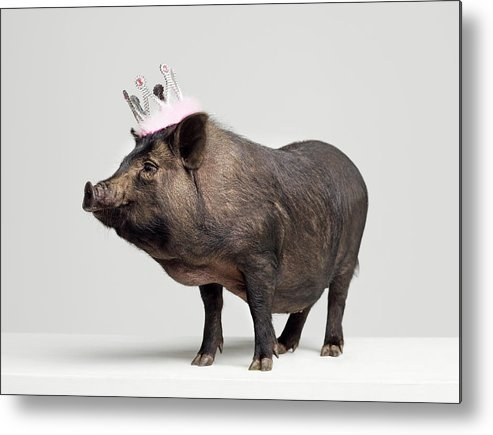 Crown Metal Print featuring the photograph Pig With Toy Crown On Head, Studio Shot by Roger Wright
