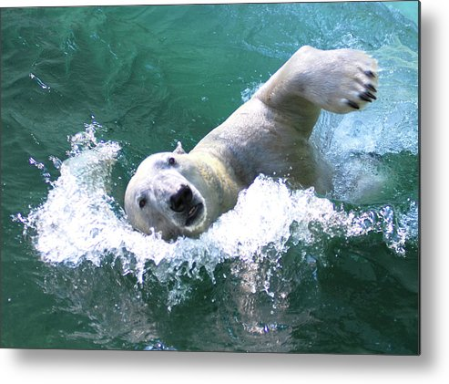 Animal Themes Metal Print featuring the photograph Polar Bear by Floridapfe From S.korea Kim In Cherl